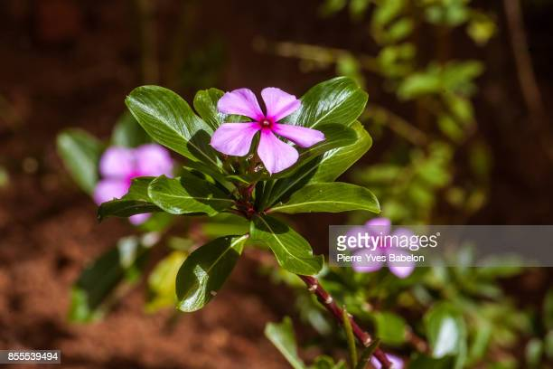 madagascar periwinkle - pierre yves babelon stock pictures, royalty-free photos & images