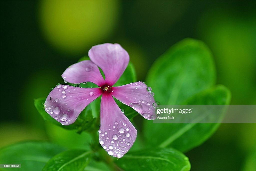 Madagascar Periwinklerosy Periwinklecatharanthus Roseus With ...
