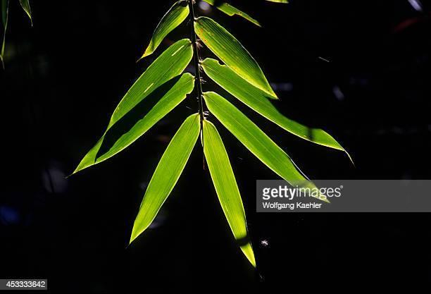 Madagascar Ranomafana National Park Rain Forest Backlit Bamboo