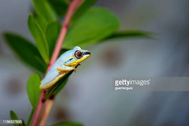 madagascar reed frog (heterixalus madagascariensis) - frog stock pictures, royalty-free photos & images