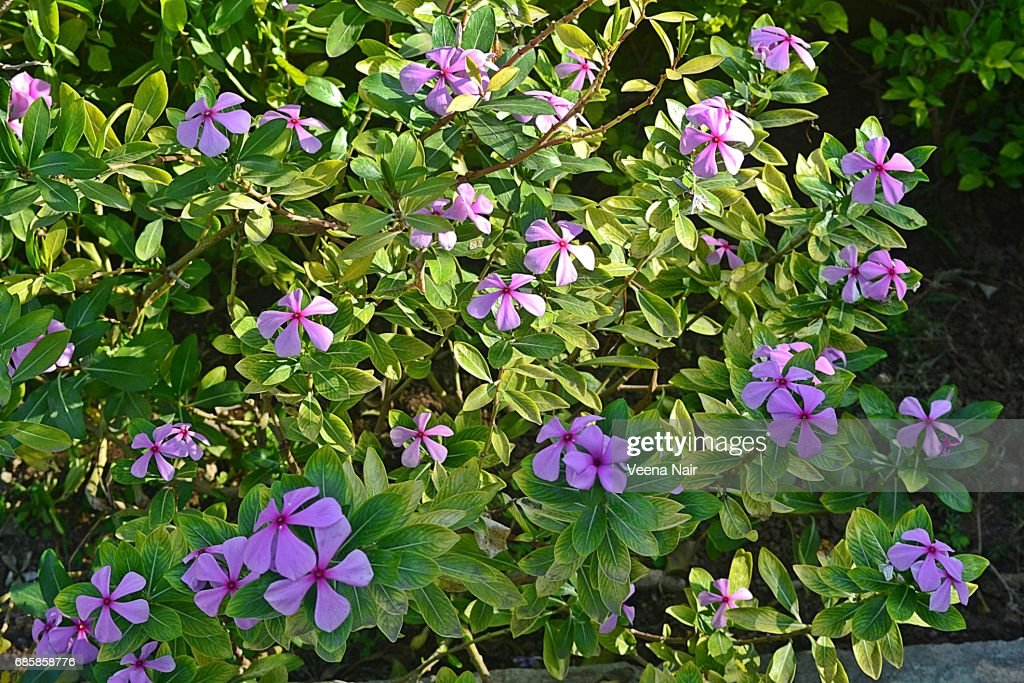 Madagascar Rosy Periwinkle In The Home Garden Stock Photo | Getty Images