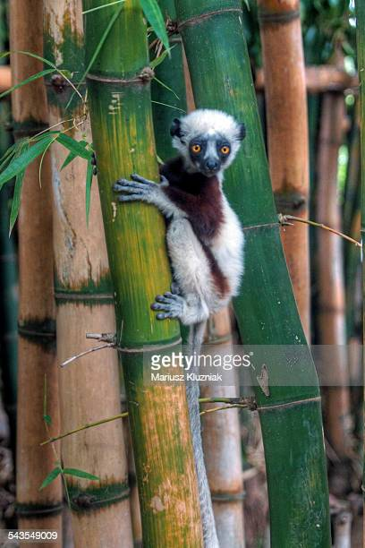 Madagascar Sifaka baby lemur