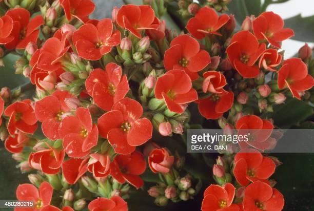 Madagascar Widow'sthrill Crassulaceae