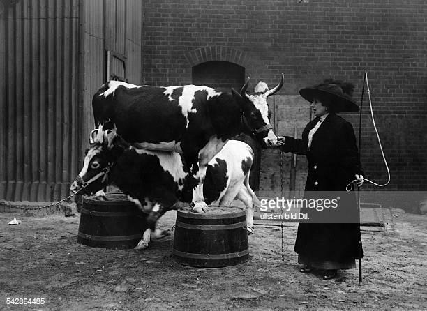 Madame de l Oris vom Zirkus Busch dressiert Kühe Ein Kuh steht auf einem Podest eine andere wird darunter hindurchgeführt daneben die Dompteuse...