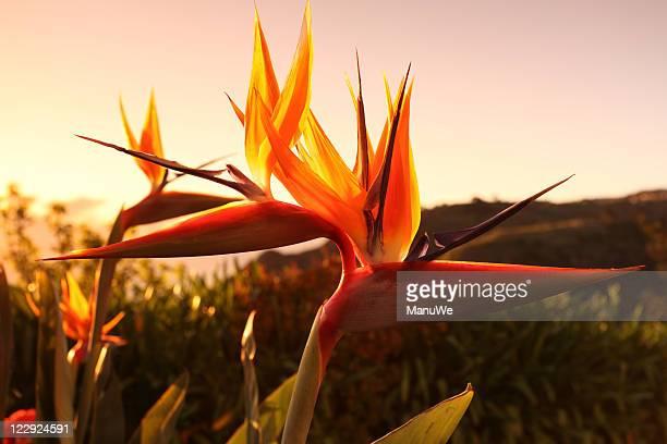 Madeira Bird of Paradise Flower Sunset