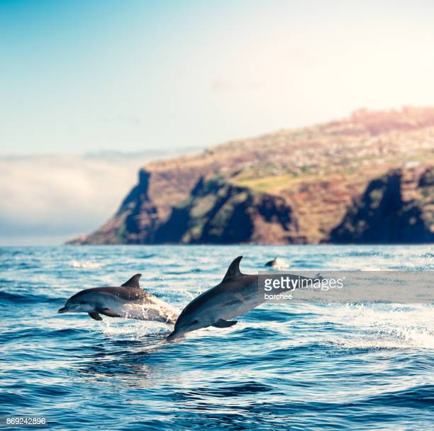 madeira island dolphins - lareira stock pictures, royalty-free photos & images