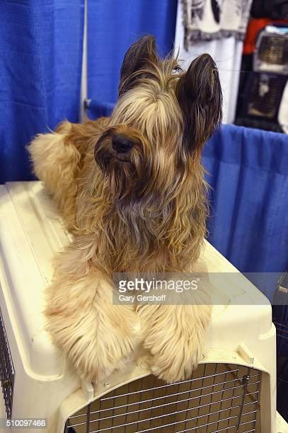 Madge a ten year old female Briard attends the 7th Annual AKC Meet The Breeds at Pier 92 on February 13 2016 in New York City