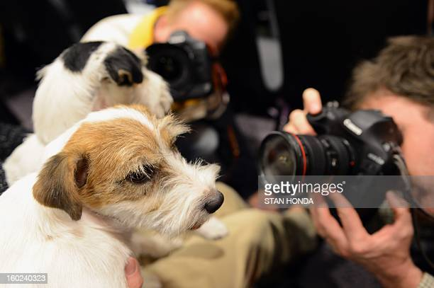 Madison and Pepper two Russell Terriers pose before a press conference January 28 2013 by The Westminster Kennel Club to introduce two new breeds...