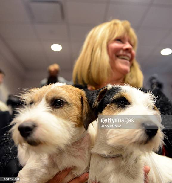 Madison and Pepper two Russell Terriers pose with owner Sue Sobel before a press conference January 28 2013 by The Westminster Kennel Club to...