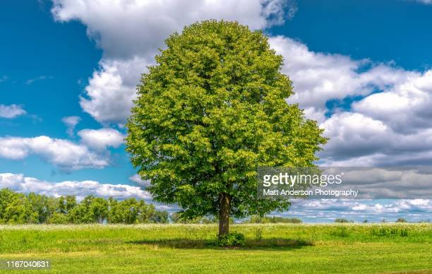madison park tree - single tree stock pictures, royalty-free photos & images