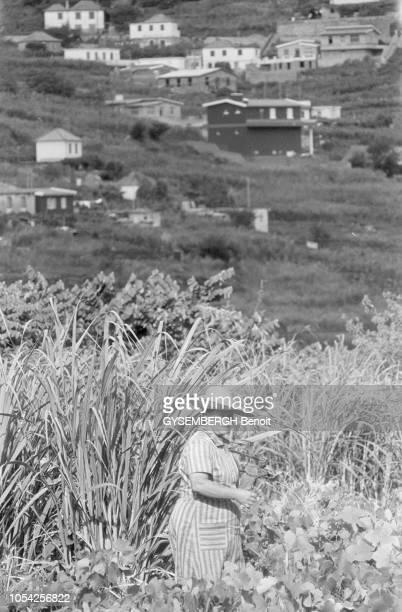 Madère Portugal septembre 1978 Paysanne vendangeant sa vigne dans la montagne A l'arrière plan des habitations