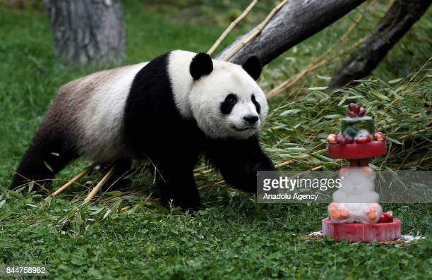 Madrid zoo celebrates the first birthday of female panda 'Chulina' delivering a big bambu cake to Chulina in Madrid Spain on September 9 2017