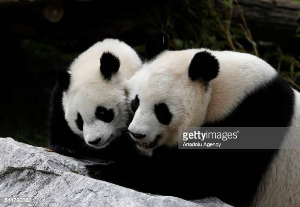 Madrid zoo celebrates the first birthday of female panda 'Chulina' with its mother Hua Zui Ba delivering a big bambu cake to Chulina in Madrid Spain...