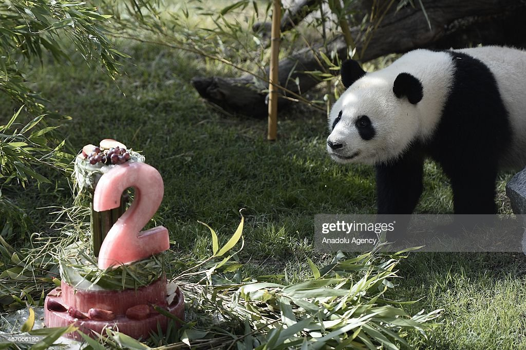 Madrid zoo celebrates the second birthday of giant panda Xing Bao, delivering a big bambu cake to Xing on September 5, 2015 in Madrid, Spain.