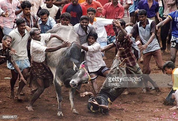 An Indian man falls off after trying to catch an angry bull during the annual bull festival in the Madurai district in the southern state of Tamil...
