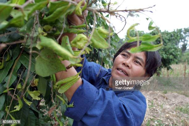 Mae Moh villager Khun Chanikandar Naktap examines the leaves of a lychee tree which she claims has been damaged by the effects of acid rain caused by...