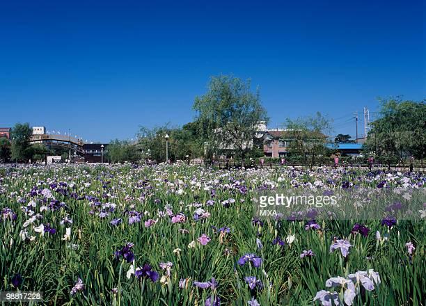 Maekawa Iris Garden, Itako, Ibaraki, Japan