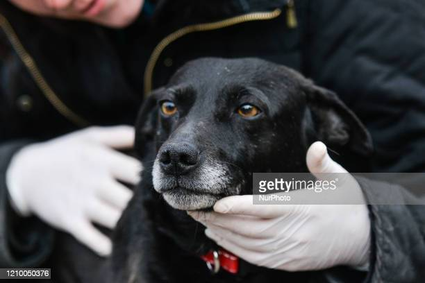 Magda, a staff member inspects Murzyn, an abandoned dog, inside specially prepared paddock at the Szarikton private hotel for dogs. Along with its...
