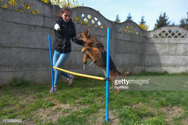 Magda, a staff member trains an abandoned dog inside specially prepared paddock, at the Szarikton private hotel for dogs. Along with its kennel...