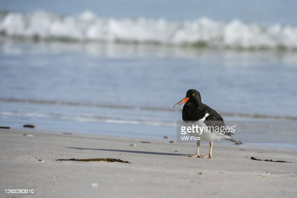 Magellanic oystercatcher , Pebble Island, Falkland Islands.