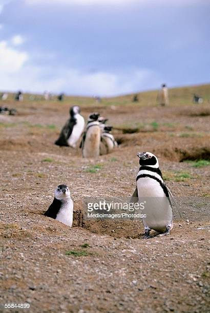 Magellanic penguin and her chick with other penguins on Magdalena Island off Chile, South America