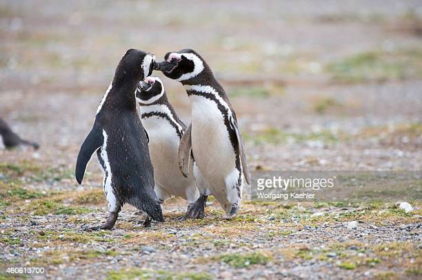 Magellanic Penguin couple displaying courtship behavior at the penguin sanctuary on Magdalena Island in the Strait of Magellan near Punta Arenas in...