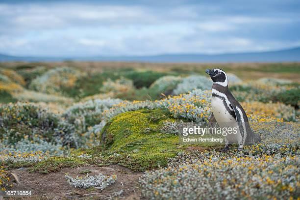 Magellanic Penguin in Patagonia, Chile