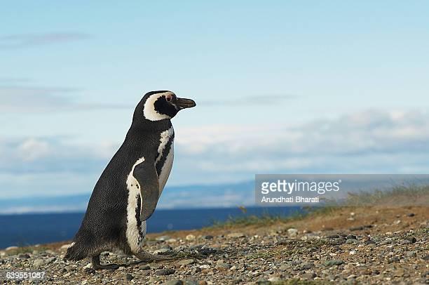 Magellanic penguin (Spheniscus magellanicus) Magdalena Island, Punta Arenas, Chile
