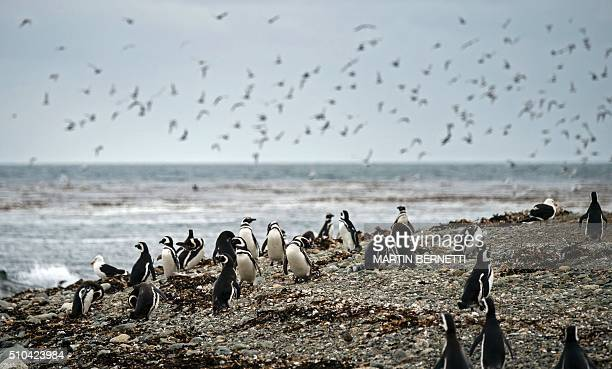Magellanic penguins are seen in Magdalena Island located in the Strait of Magellan near Chile's southern tip where tens of thousands of penguins come...