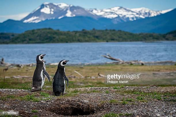 Magellanic Penguins burrowed nest, Patagonia