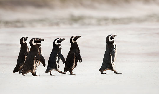 Magellanic penguins heading out to sea for fishing 1140993826