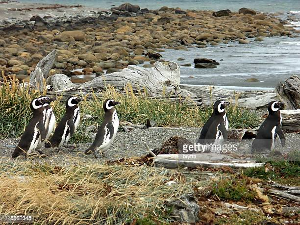 Magellanic penguins in Punta Arenas,Patagonia,Chile
