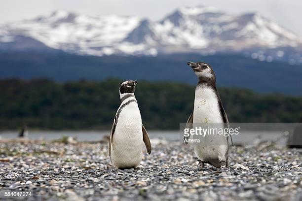 Magellanic Penguins on Isla Yecapasela at Estancia Harberton Ushuaia Argentina