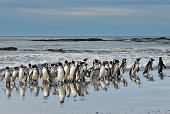 magellanic penguins beach with reflection falkland