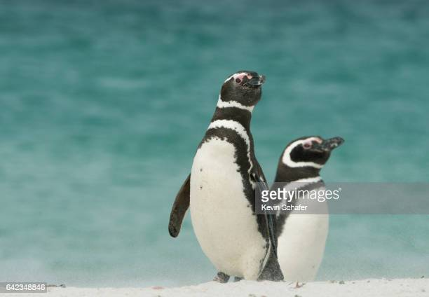 magellanic penguins on windy beach,falkland islands - falklandinseln stock-fotos und bilder
