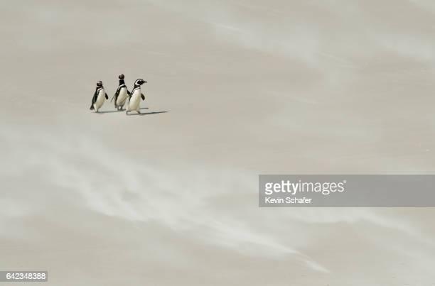Magellanic Penguins on windy sand beach, Falkland Islands