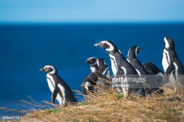 magellanic penguins, patagonia - colony group of animals stock photos and pictures