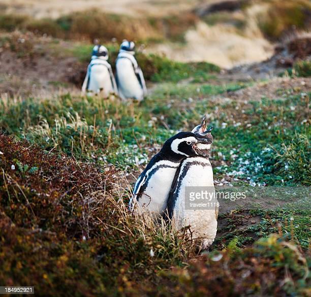 マゼランワシペンギン