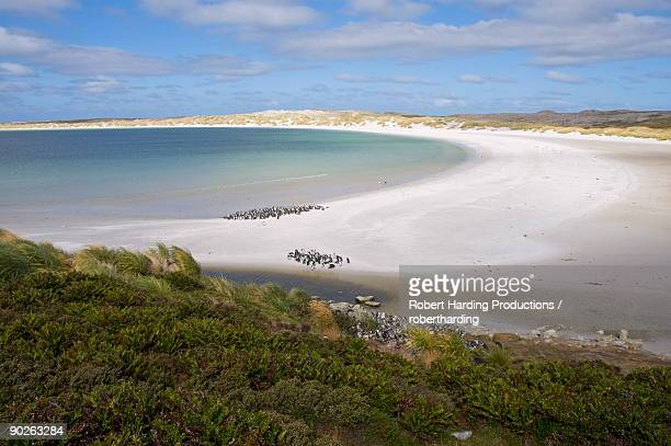 magellanic penguins, yorke bay, port stanley, falkland islands, south america - port stanley falkland islands stock photos and pictures