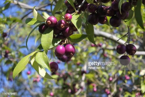 magenta cherry fruit - rafael ben ari stock-fotos und bilder