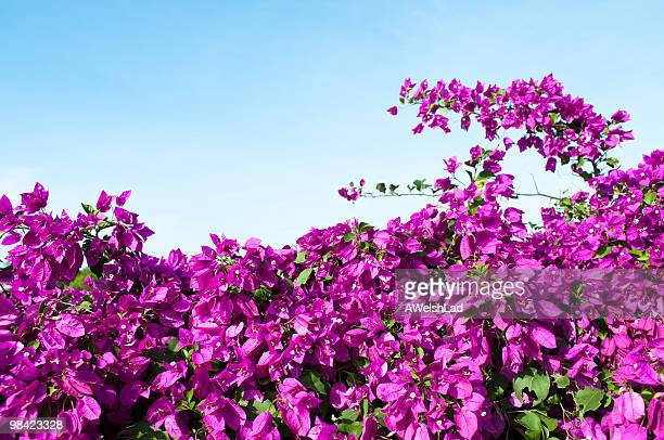 Magenta colored Bougainvillea hedge with light blue sky