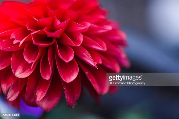 A Magenta Flower Blooms in the Spring