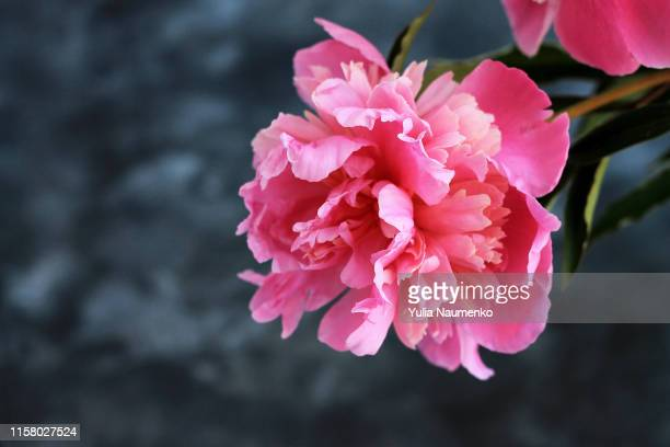 magenta peonies on dark stone background. floral background with copy space for text. gift, holidays, present or floral card concept. - bicolore photos et images de collection