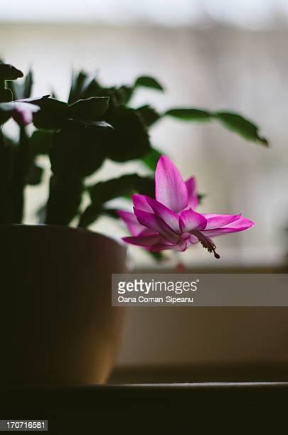 Magenta Schlumbergera flower