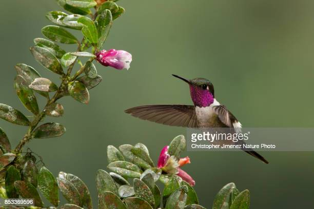 magenta-throated woodstar (calliphlox bryantae) feeding from flowers - bird stock photos and pictures