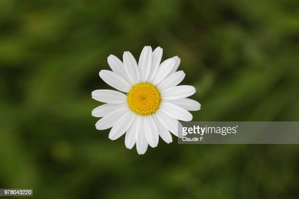 magerwiesen-margerite / ox-eye daisy - chamomile tea stock photos and pictures