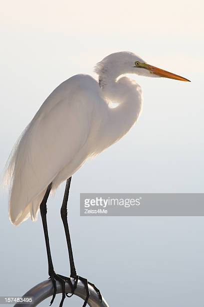 Magestic great white egret