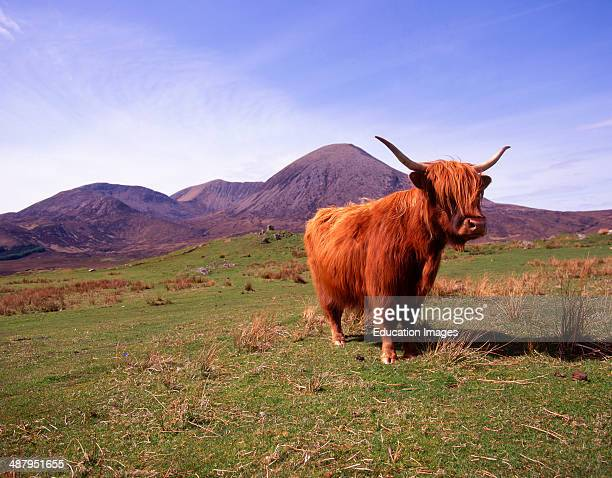 Maggie The Highland Cow With The Red Hills In View, Isle Of Skye.
