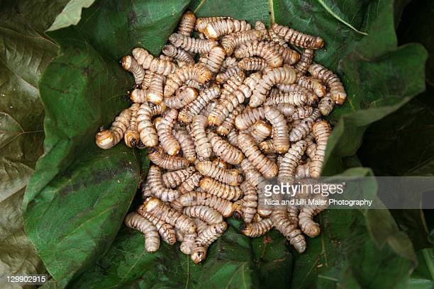 maggots at market in gangtok, india. - maggot stock photos and pictures