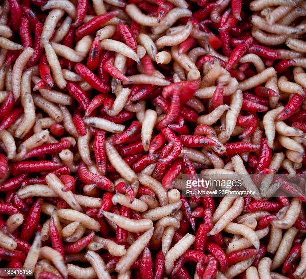 maggots - maggot stock photos and pictures